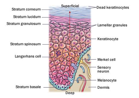 02epidermis, Human Body