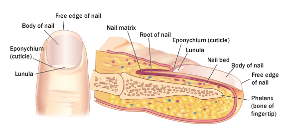 Nails Function In Scratching And Helping With The Grasping Of Small Items Nail Health Earance Can Provide Clues About A Patient