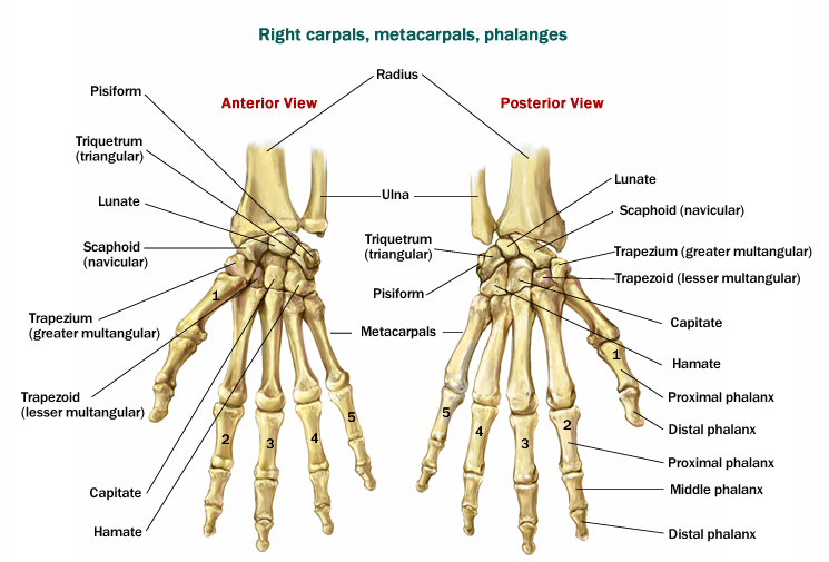 Hand And Wrist Bones Diagram - Information Of Wiring Diagram •