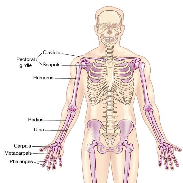 skeletal system - appendicular skeletal system, Skeleton