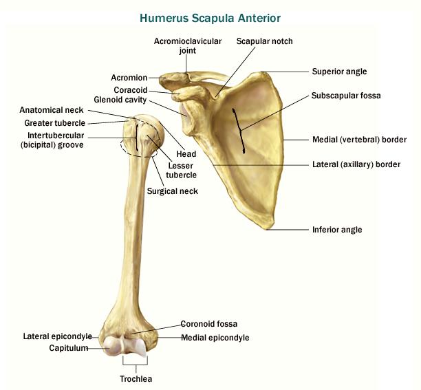 Skeletal System - Appendicular Skeletal System